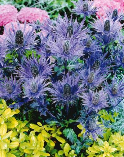 Синеголовник с другими цветами