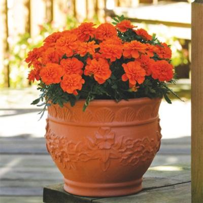Тагетес оранжевый