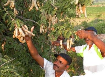 Сбор урожая тамаринда