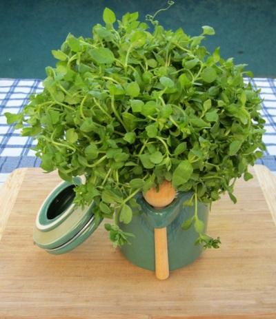 Ряд полезных свойств травы мокрицы