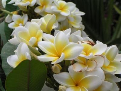 Цветущая ваниль