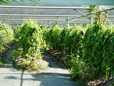 Плантации ванили на Реюньоне