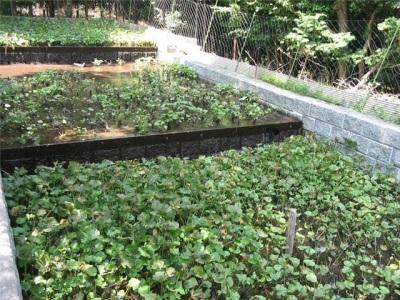 Выращивание васаби без теплицы