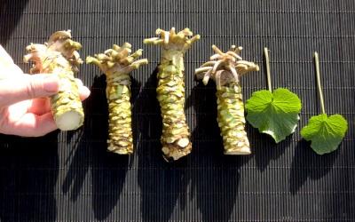 Листья и корень васаби