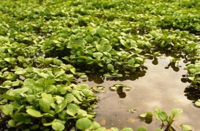 водяной кресс на болотистых местностях