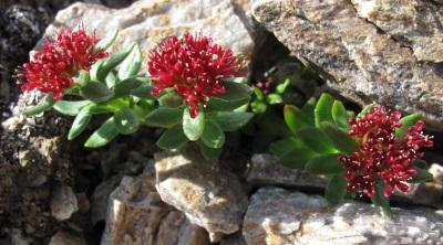 Родиола розовая в горах