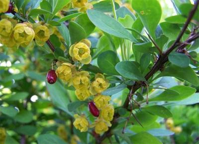 Ягоды и цветы барбариса