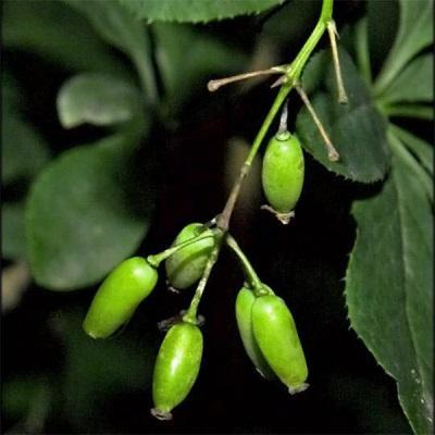 Незрелые плоды барбариса