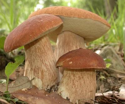 Семейка белого гриба
