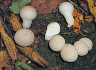 выращивание грибов дождевиков