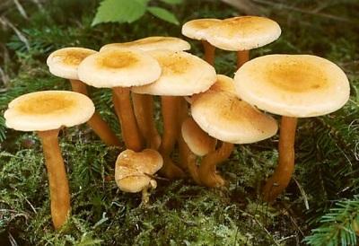 Группа грибов лисичка ложная