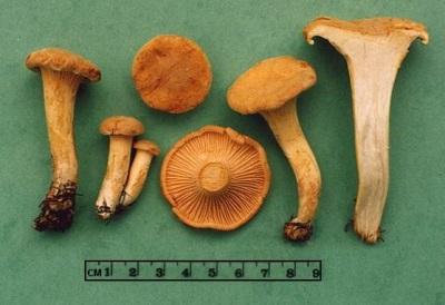Грибы лисички содержат множество различным витаминов и элементов полезных для организма