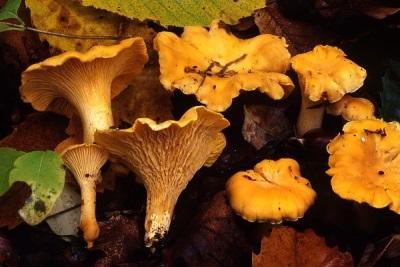 Правильная высадка грибов лисичек