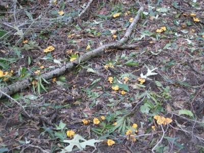 Грибы лисички хорошо растут в зонах с умеренным и субтропическим климатом