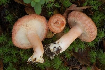 Ножка гриба волнушки