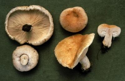 Волнушка содержит множество витаминов и минеральных веществ