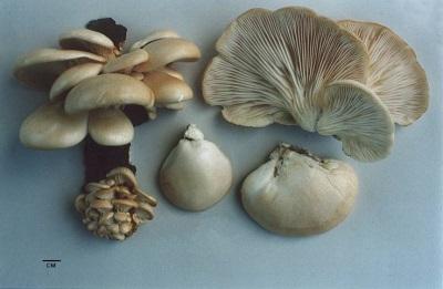 Характеристики грибов вешенок