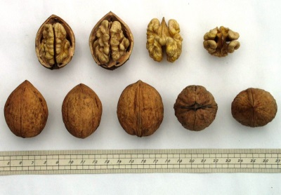 Выбор грецких орешков для посадки