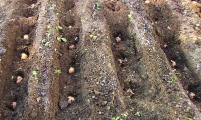 Посадка семян грецкого ореха осенью