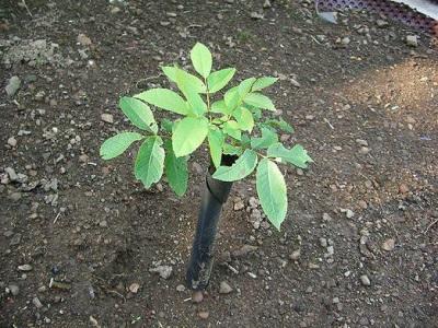 Уход за молодым деревом грецкого ореха