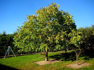 Выращивание дерева грецкого ореха