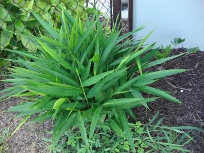 Выращивание калгана в домашних условиях