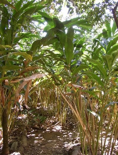 Плантации кардамона