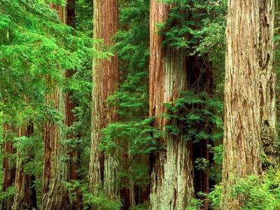 Интересные факты о живице и дереве кедр