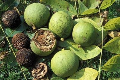 Интересные факты о листе черного ореха