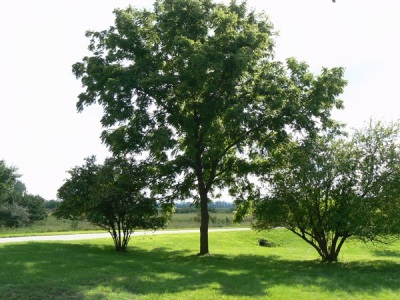 Места произрастания дерева черного ореха
