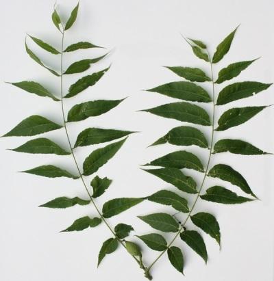 Некоторые характеристики листьев черного ореха