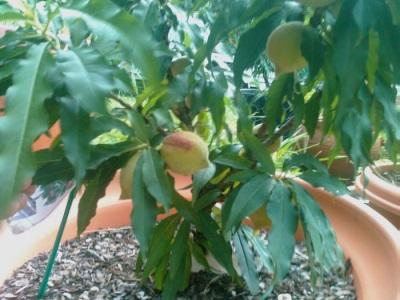 Молодое дерево австралийского ореха