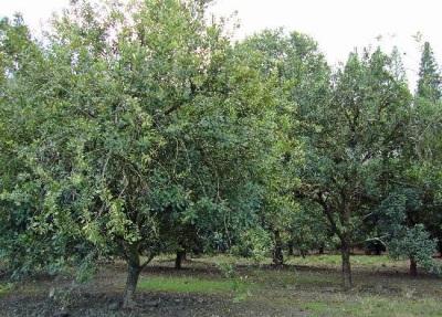 Дерево ореха макадамия