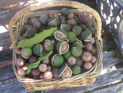 Орешки макадамия используются в медицинских целях для лечения некоторых недугов
