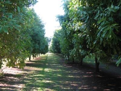 Макадамия растет в засушливых местах, больше всего распространен в Австралии и Южной Африке