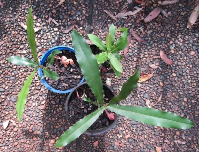 Макадамия на рассаду