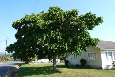 Дерево маньчжурского ореха хорошо растет в условиях умеренного климата