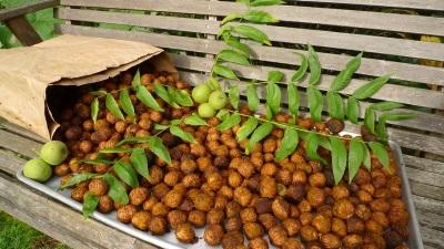Маньчжурский орех имеет ряд полезных для организма свойств