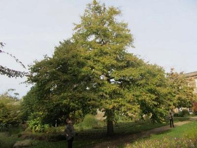 Дерево медвежьего ореха