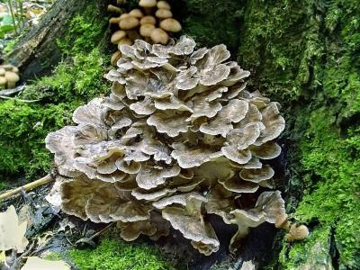 Грибы Мейтаке (майтаке или гриб баран)