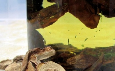 Масляный настой грибов мейтаке