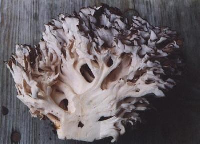 Польза экстракта грибов мейтаке для укрепления и оздоровления организма