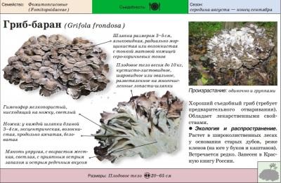 Внешний вид грибов мейтаке