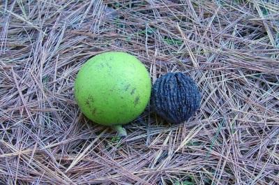 Интересные факты о черном орехе