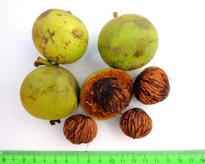 Характеристики черного ореха