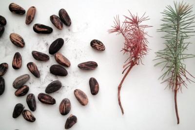 Семена пинии для выращивания сосны