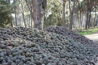 Урожайность сосны пинии