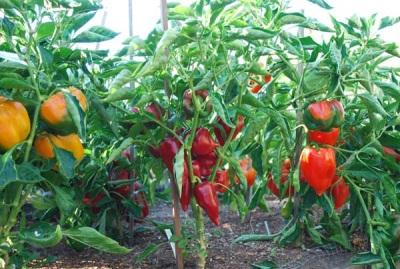 Выращивание паприки