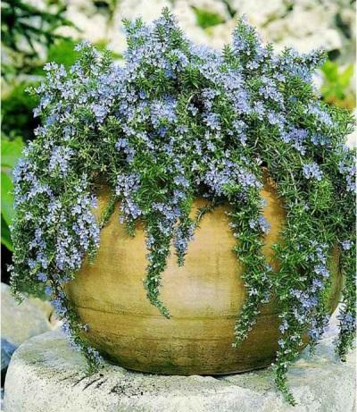 Голубые цветы розмарина