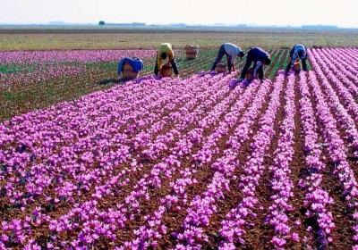 Плантации шафрана в Испании